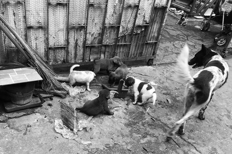 Cambodia - Dogs