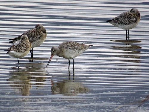 Bar-tail Godwits (Limosa lapponica) | by Brian Carruthers-Dublin-Eire