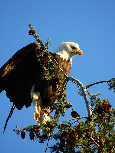 april 2 2017 18:34 - Eagle in The His & Hers Tree | by boonibarb