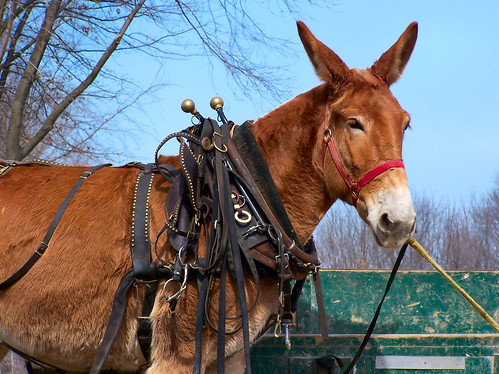 Unhappy Mule | by cindy47452