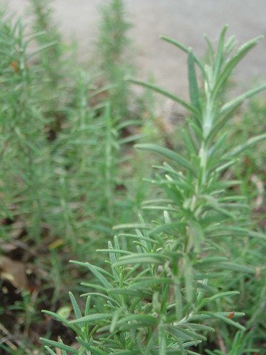 Rosemary Plants | by CocteauBoy