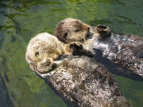 Sea Otters | by meckert75