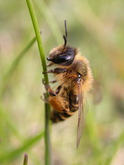 Andrena flavipes | by Nico's wild bees & wasps