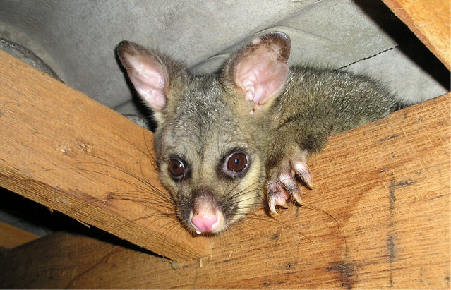 image of a possum in the roof