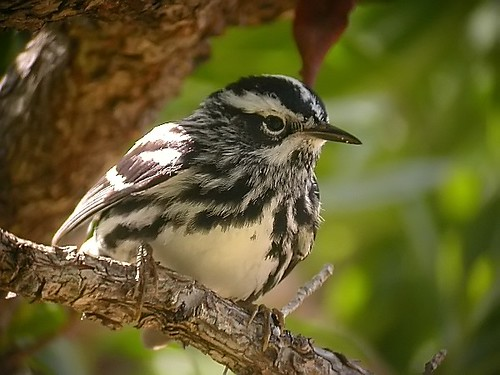 Black-and-white Warbler | by Langooney