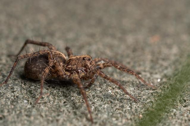 Pregnant Wolf Spider Uncropped Brian Valentine Flickr
