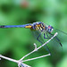 Blue Dasher (male) by nature55