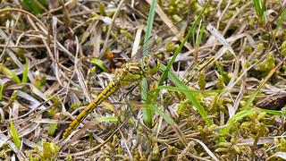 Steenrode heidelibel ♀ | by kiekjesdief.nl/libellen