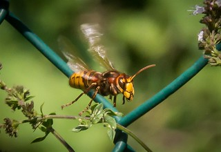Hornet - DSC09528 (Large) | by Fred_St