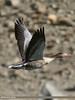 Greylag Goose (Anser anser) by gilgit2