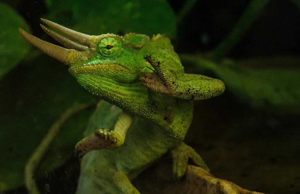 Trioceros-de-Jackson-ovovivíparo-de-áfrica
