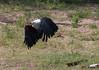 African Fish-Eagle (Haliaeetus vocifer) by Malcolms wanderings
