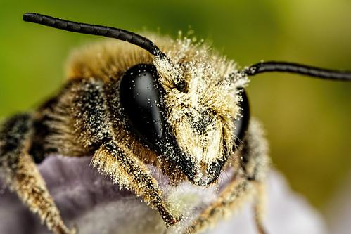 Mason Bee IV