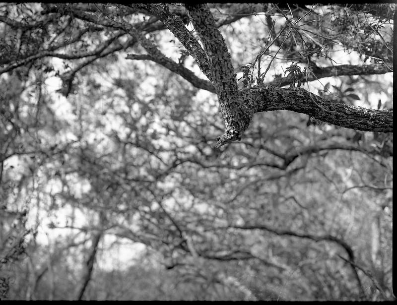 looking up, branches, florida oak trees, backlit,  Atlantic Center for the Arts, New Smyrna Beach, FL, Mamiya 645 Pro, mamiya sekor 80mm f-2.8, Arista.Edu 200, Moersch Eco Film Developer, late January 2018