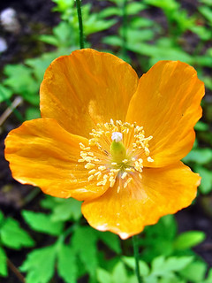 Welsh Poppy at side road in Wray