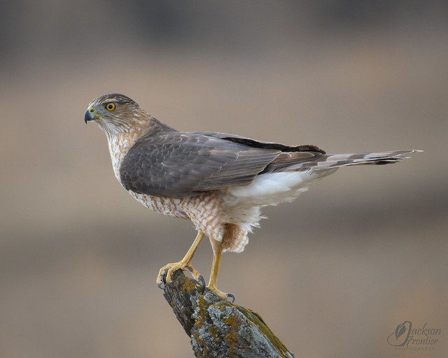 On edit this is a Cooper's hawk!