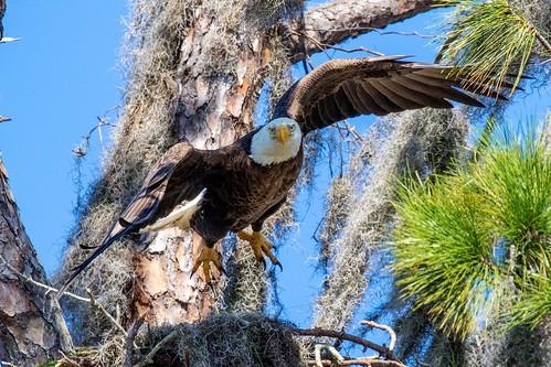 outdoor seaside shore sea sky water nature wildlife 7dm2 canon florida bird bif flight eagle