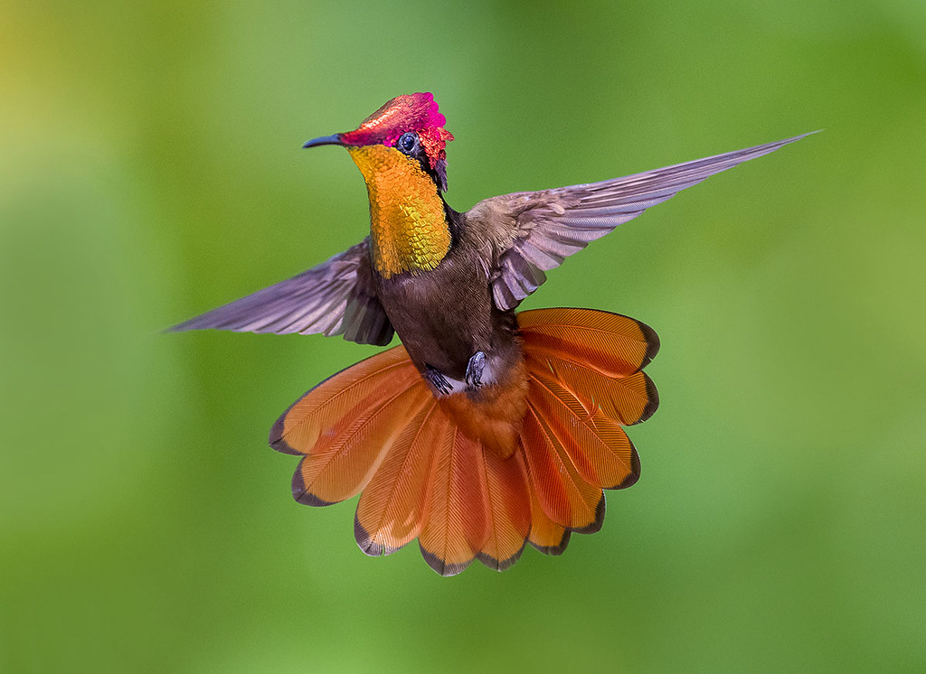 Ruby Topaz Hummingbirds dancing in the air , Trinidad.