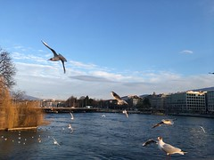 Birds over Leman