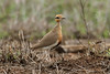Cursorius temminckii (Temminck's Courser) - South Africa by Nick Dean1