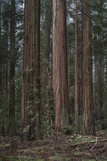 Redwood Forest 17