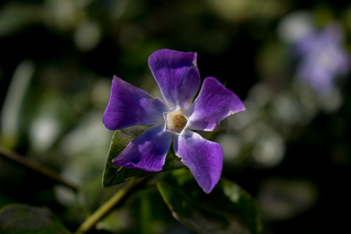An image of a periwinkle. © Icy Sedgwick