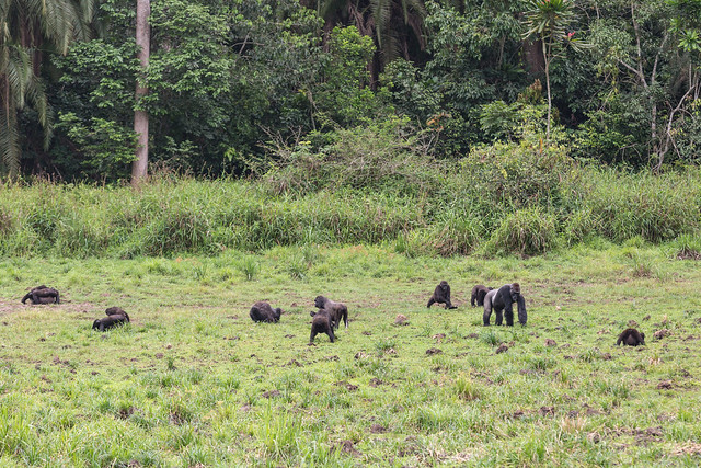 Family of western lowland gorillas looking for minerals in the mud (Lobéké National Park, Cameroon)