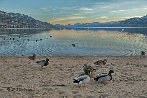 duck ducks mallard mallards penticton bc british columbia birds joeinpenticton joe jose garcia wild life wildlife beach ok okanagan okanogan valley lake skaha buoys buoy float sun set rise sunset sunrise afternoon keleden falls east side road handout feed feeding