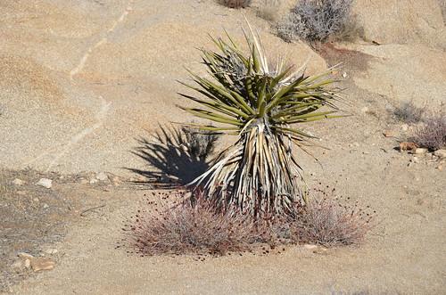 Joshua Tree - yucca