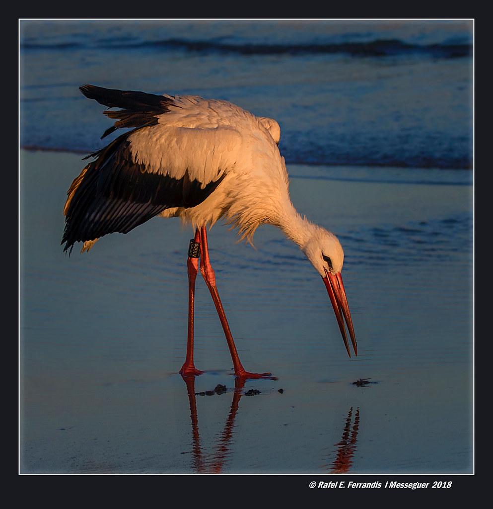 Cigonya blanca 13 (Ciconia ciconia) White Stork (Platja de l'Estany, Cullera, la Ribera Baixa, València, Spain)