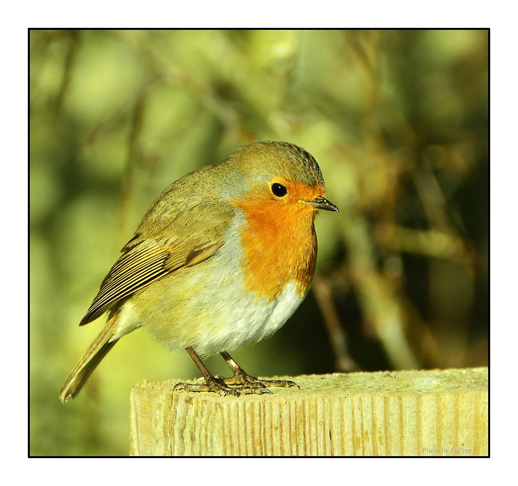 Round Red Robin