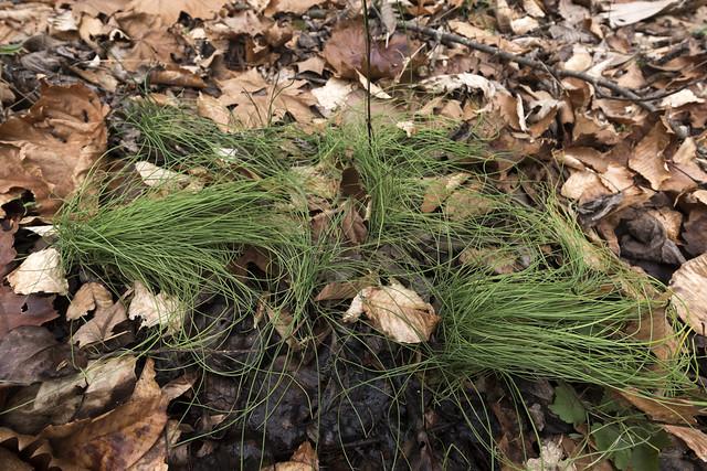 Allium canadense, Jackson County, Tennessee