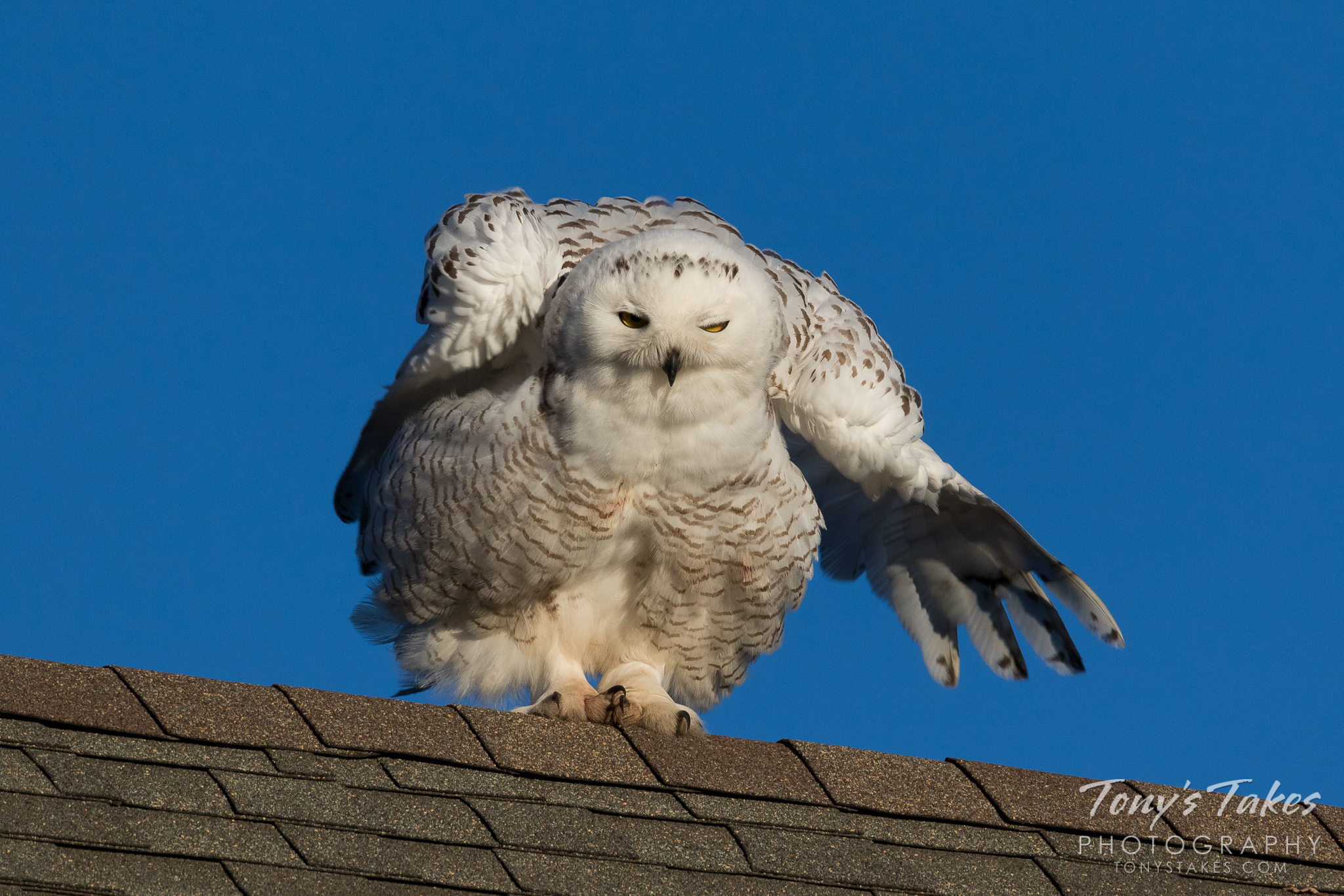 A Snowy Owl fluffs up while perched on a suburban roof northwest of Denver, Colorado.  (© Tony's Takes)