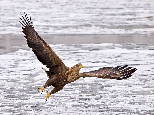 A White Tailed Eagle flying over the ice in Stockholm City | by Franz Airiman