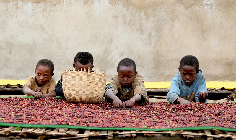 Phân loai cà phê ở Harar-Ethiopia