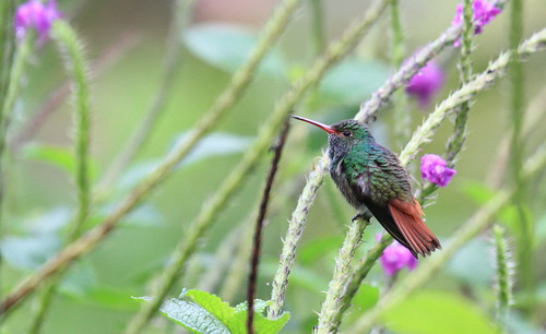 Rufous-tailed Hummingbird / Ariane à ventre gris/ Amazilia tzacatl ( Serie 2 / 3 ) | by ricketdi