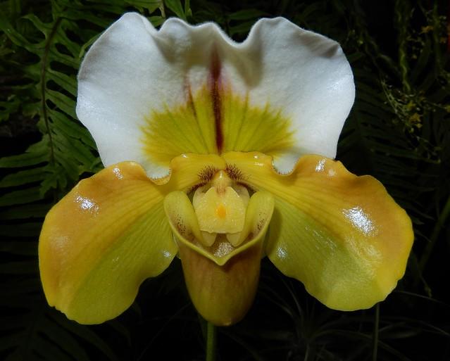 Paphiopedilum hybrid.