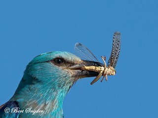 European Roller 130 | by Birdwatchingalentejo