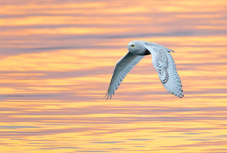 Snowy Owl in flight | by GoldenBright (Larry)