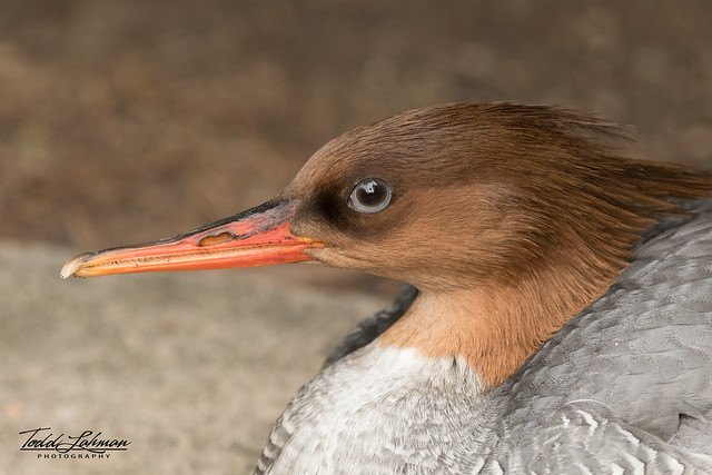 Scaly-sided Merganser