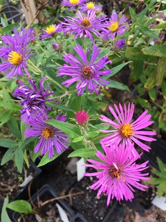 New England Aster | by capemaynativeplants