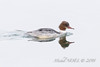 Harle bièvre - Mergus merganser - Common Merganser : Michel NOËL © 2018-2695.jpg by Michel NOEL 1,4 M + views .Thanks to visits