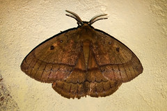 Anthelidae: Pseudodreata strigata
