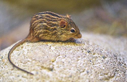 prugasti miš (Lemniscomys striatus / Typical Striped Grass Mouse / Echte Streifengrasmaus) | by Hrvoje Šašek
