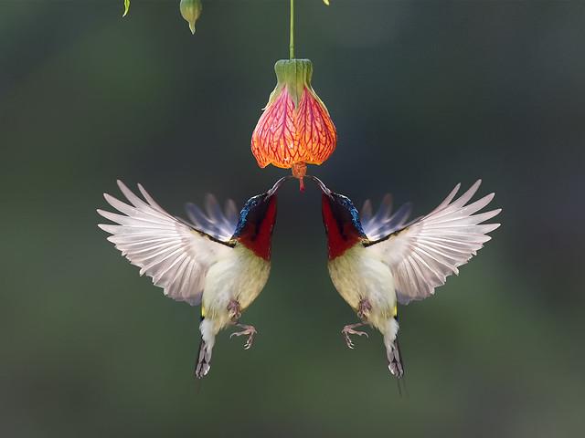 Fork-tailed Sunbird _ Dongguan ֎֎