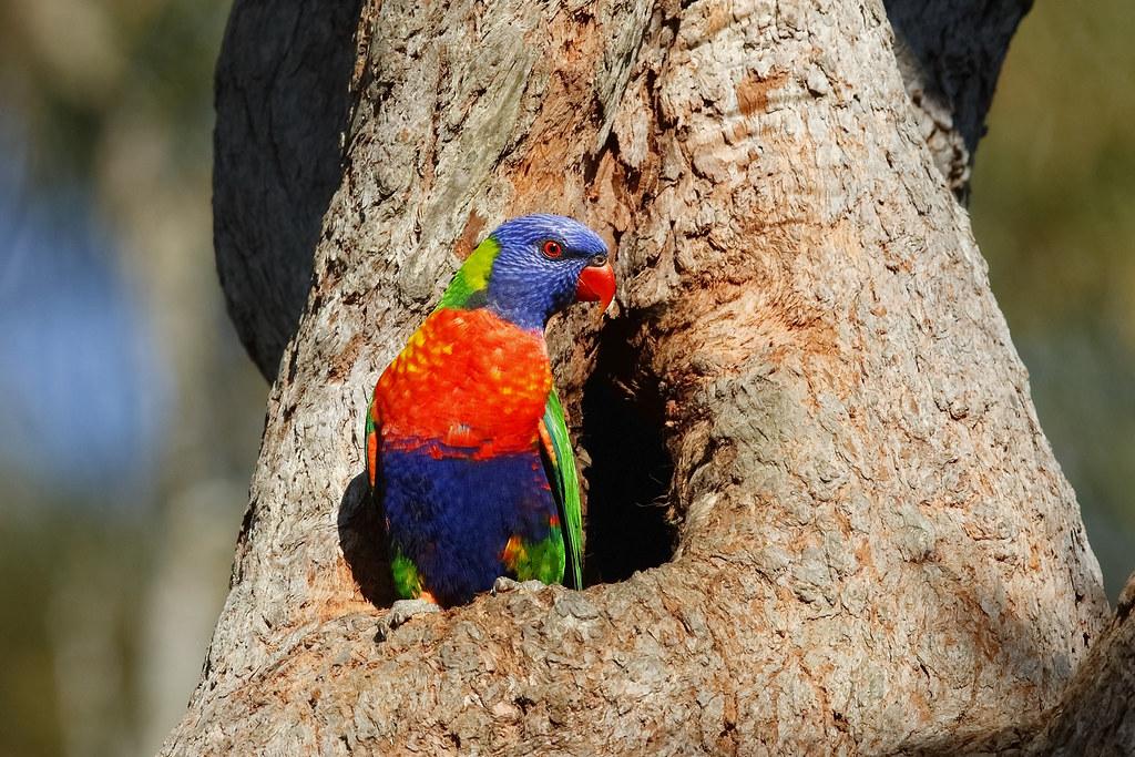 Lorikeet Rainbow 915 Warriewood NSW 1609 - Copy