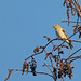 Flickr photo 'American Goldfinch (Spinus tristis)' by: Mary Keim.