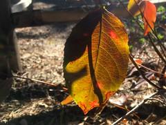 Lingering Leaf