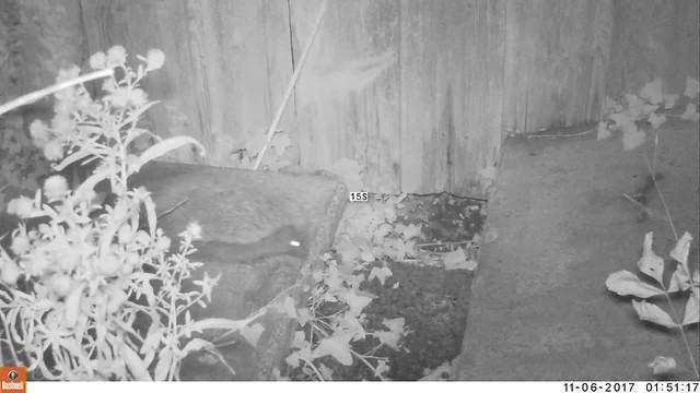 Hedgehog under fence