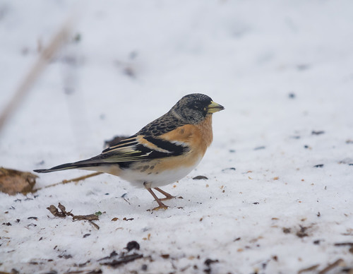 Brambling, The Lodge, 3rd March 2018